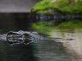 krokodil.jpg